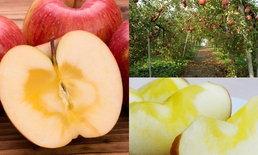 แอปเปิ้ลแกนน้ำผึ้ง ความอร่อยเลิศที่มีอยู่เฉพาะในแอปเปิ้ลสดเท่านั้น