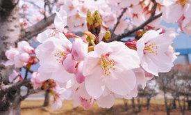 มารู้จักดอกไม้สัญลักษณ์ของจังหวัดต่างๆในญี่ปุ่นกันเถอะ