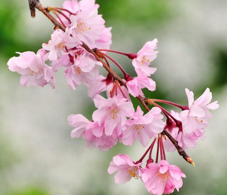 shidare-sakura-flower-big-e15