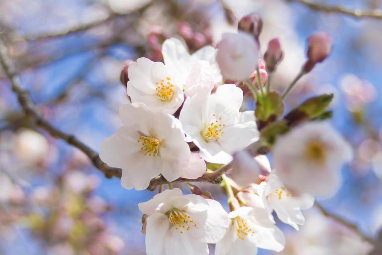 somei-yoshino-cherry-blossom-