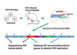 ມີຫວັງ ເມື່ອນັກວິທະຍາສາດ ພົບວິທີກໍາຈັດເຊື້ອ HIV ອອກຈາກໜູໄດ້ແລ້ວດ້ວຍ CRISPR
