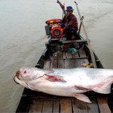 ປາບຶກ (Mekong giant catfish) ຊື່ວິທະຍາສາດ Pangasianodon gigas