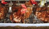 ຜົ້ງສາລີ ຫ້າມເຄື່ອນຍ້າຍ-ຈຳໜ່າຍສັດປີກ ຫຼັງອຸດົມໄຊ ພົບເຊື້ອ H5N6