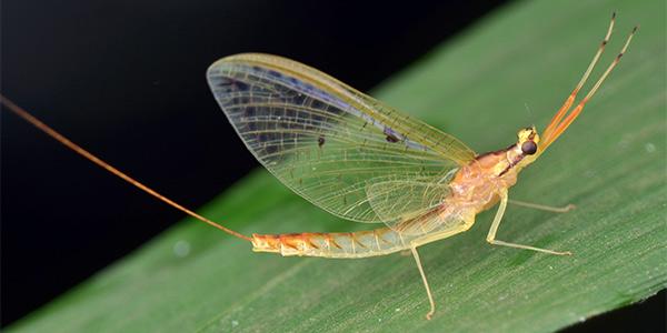 invertebrate_mayflies_600x300