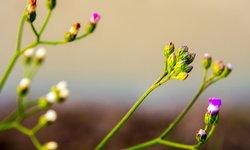 หญ้าดอกขาว ตัวช่วยเลิกบุหรี่