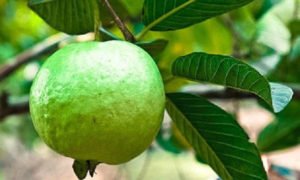 ฝรั่งไม่ได้เป็นแค่ผลไม้ สรรพคุณทางยาเพียบ