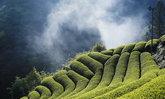 """ชาชิซึโอกะ แนะนำ """"ชิซึโอกะ โฮจิฉะ"""" ชาเขียวคั่วสูตรพรีเมี่ยมจากไร่ชาเก่าแก่กว่า 400 ปี"""