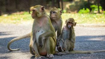 งานวิจัยเผย ทำไมลิงตัวเมีย ไม่ค่อยไว้ใจลิงตัวผู้ แม้ทำถูกต้อง!?