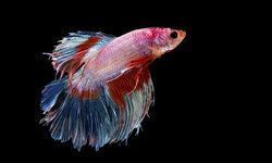 ตั้งเป้าปั้น 'ปลากัด' เป็นสัตว์น้ำประจำชาติ หวังทำรายได้ปีละ 1,000 ล้านบาท