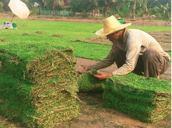 ธุรกิจปลูกหญ้าปทุมธานีโต ต่างชาติสั่งซื้อไม่อั้น-เกษตรกรสบช่องเลิกทำนา