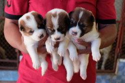 ลูกหมาบางแก้วราคาพุ่ง 2.5 หมื่น ส่งออก 2.5 แสน หลังเจ้าใบตาลของเอ-ไชยา สร้างชื่อสู้โจร