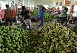 อียูสั่งแบนมะม่วงอินเดีย เหตุพบศัตรูพืช