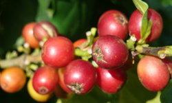 ราคากาแฟโลก ร่วง 45% กระทบส่งออกลาวรุนแรง