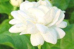 คาดวันแม่ปีนี้ดอกมะลิราคาพุ่งลิตรละ 600-800 บาท
