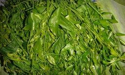 'ผักหวานป่า' พืชผักสวนครัว หากินง่าย สร้างรายได้ดี