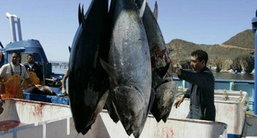 ไทยส่งออกปลาทูน่าอันดับ1ของโลก