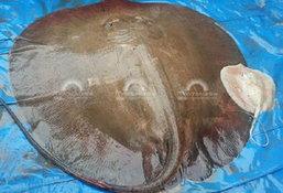 ฮือฮา! จับปลากระเบนยักษ์ 100 กก. พบลูกน้อยติดท้อง 2 ตัว