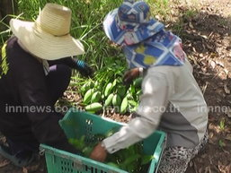 เกษตรฯ เตรียมแผนรับมือผลไม้ออกสู่ตลาด