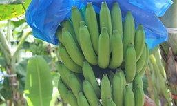 รวมกลุ่มปลูกกล้วยหอมทองนาทวีกว่า100ไร่