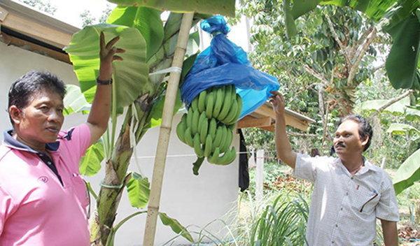 สวนกล้วยหอมทอง นาทวี สงขลา