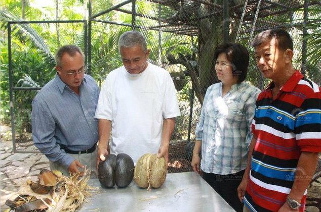 """สุดฮือฮา!! """"มะพร้าวก้นคน""""ผลแรกของเมืองไทย สวนนงนุชพัทยารอคอย32ปี เตรียมขยายพันธุ์"""