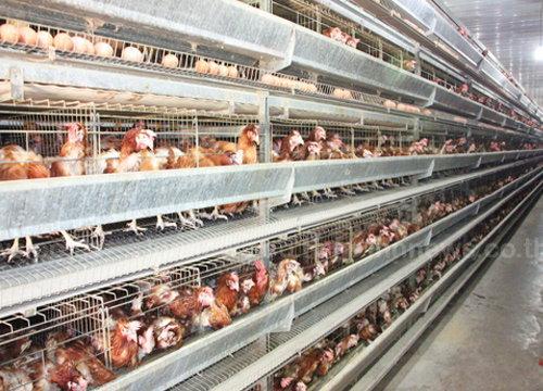 ผู้เลี้ยงไก่ไข่จ่อขึ้นราคาฟองละ10-20สต.