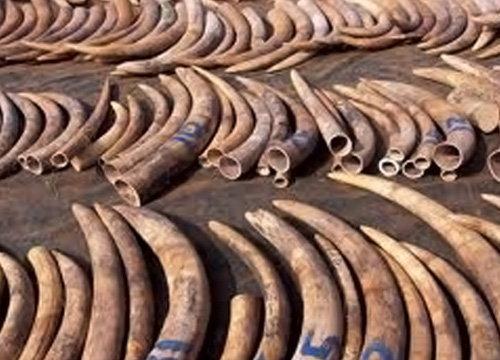 พณ.เข้มเร่งจัดระเบียบผู้ค้างาช้างในไทยจริงจัง