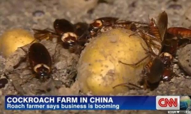 """""""ฟาร์มแมลงสาบ""""บูมในจีน ป้อนตลาดผลิตยารักษาโรคท้อง-ตับ-หัวใจ"""