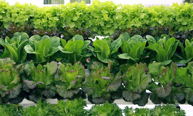 ฟ้า เฟรช ฟาร์ม ชุดปลูกผักไฮโดรฯ ขายยุคสุขภาพ