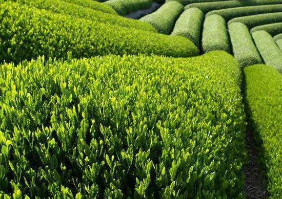 ชาแพนด้า ขึ้นแท่นชาที่แพงที่สุดในโลก