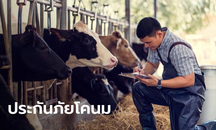 ธ.ก.ส. หนุนเกษตรกรทำประกันภัยโคนม ค่าเบี้ยตัวละ 810 บาท