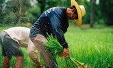 ก.เกษตรฯ สั่งคุมพื้นที่ทำนาปรังห้ามเกิน 11 ล้านไร่