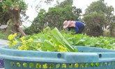 ผักกวางตุ้งสดๆ เสิร์ฟผ่านเฟสบุ๊ค สร้างรายได้อย่างงามแก่เกษตรกร