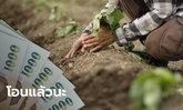 ธ.ก.ส. โอนเงินประกันรายได้มันสำปะหลังเข้าบัญชีเกษตรกรแล้ววันที่ 1 ธ.ค. 63