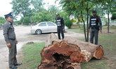 คนร้ายลอบตัดไม้พะยูงอายุร่วม200ปี