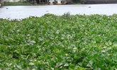 กรมชลฯเร่งกำจัดวัชพืชในคลองระบายน้ำ