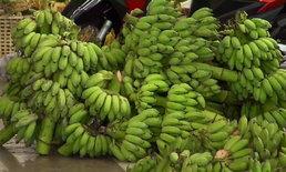 ภัยแล้งดันกล้วยน้ำว้าราคาหวีละ 80 บาท หวั่นน้ำท่วมเหนือทำขยับขึ้นไปอีก