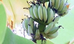 """ภัยแล้งกระทบ """"กล้วยหอม-กล้วยน้ำว้า"""" ขาดตลาด บางพื้นที่ราคาพุ่งหวีละ 70 บาท"""