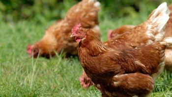 8 วิธีลดต้นทุนการเลี้ยงไก่ด้วยอาหารเสริมจากธรรมชาติ