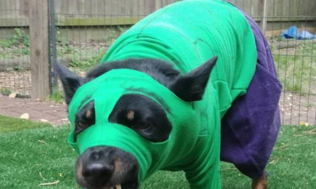 งือออน่ารัก เมื่อน้องหมาแต่งคอสเพลย์กลายเป็นเหล่าฮีโร่ Avengers