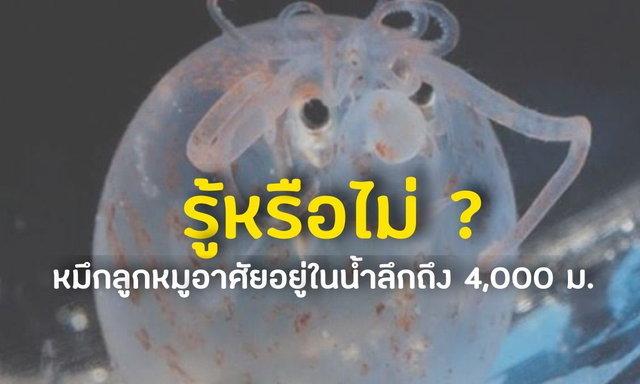 รู้หรือไม่ ? : หมึกลูกหมูอาศัยอยู่ในน้ำลึกถึง 4,000 ม.