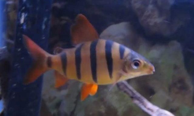 แนะนำปลาสวยงามน่าสนใจ : ปลาลูโซโซ่