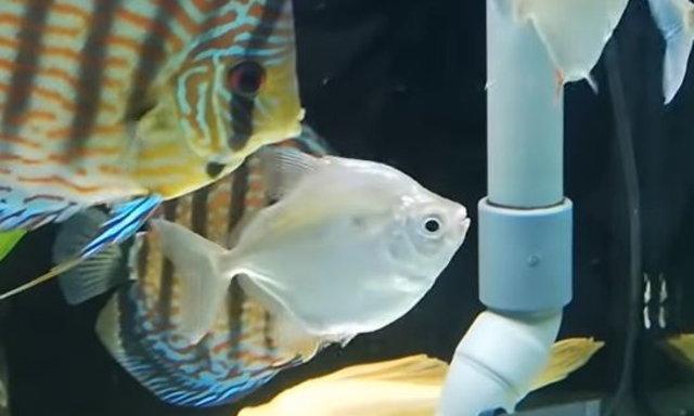 แนะนำปลาสวยงามน่าสนใจ : ปลาซิลเวอร์ ดอลล่าห์