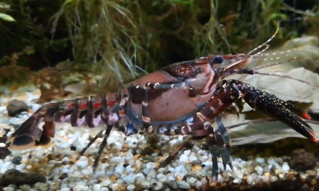 แนะนำสายพันธุ์กุ้งเครย์ฟิช : Procambarus (Pennides) spiculifer (LeConte)