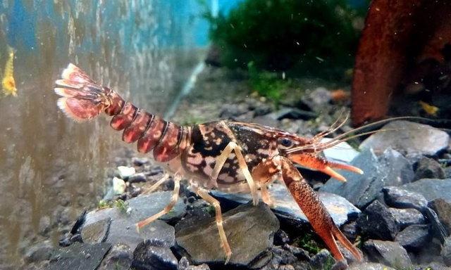 แนะนำสายพันธุ์กุ้งเครย์ฟิช : Procambarus braswelli หรือ Waccamaw crayfish