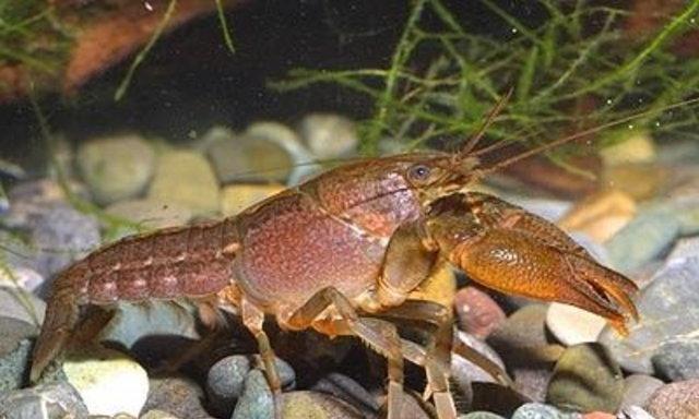 แนะนำสายพันธุ์กุ้งเครย์ฟิช : Procambarus kilbyi