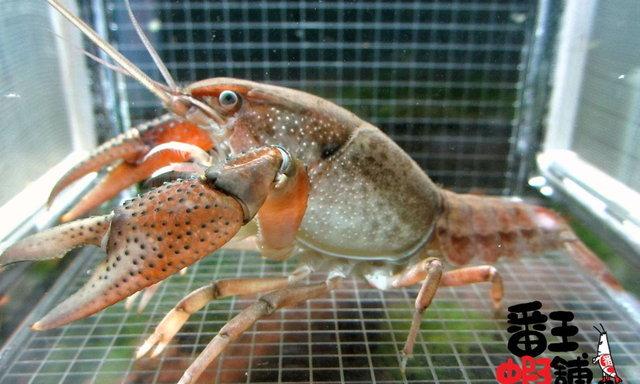 แนะนำสายพันธุ์กุ้งเครย์ฟิช : Procambarus Curdi หรือ Red River Burrowing Crayfish