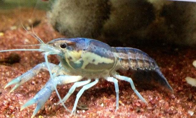 แนะนำสายพันธุ์กุ้งเครย์ฟิช : Procambarus Llamassi