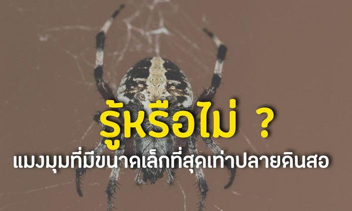 รู้หรือไม่ ? : แมงมุมขนาดเล็กที่สุดเท่าปลายดินสอ