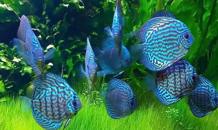 หากอยากเลี้ยงปลาปอมฯแบบสวยๆ ควรจะเริ่มเลี้ยงตั้งแต่ตัวเล็กๆ หรือ เลี้ยงตัวโตเลยดี